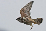 Merlin (Falco columbarius), Stenfalk