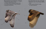 Short-Eared vs Long-Eared Owl