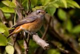 Redstart (Phoenicurus phoenicurus), Rödstjärt
