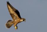 Peregrine Falcon (Falco peregrius), Pilgrimsfalk