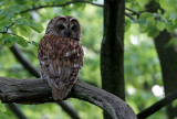 KattugglaStrix alucoTawny Owl