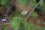 Willow Warbler  Lövsångare  (Phylloscopus trochilus)