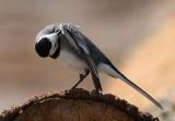 White Wagtail  Sädesärla  (Motacilla alba)