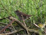 Thrush Nightingale  Näktergal  (Luscinia luscinia)