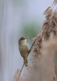 Marsh Warbler  Kärrsångare  (Acrocephalus palustris)