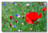 _MG_2434 Coquelicot.jpg