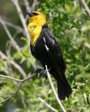 Yellow-headed Blackbird; male