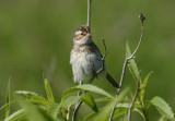 Clay-colored Sparrow; juvenile