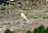 Meadowlark species; leucistic
