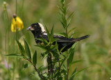Bobolink; transitional male