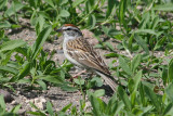 Chipping Sparrow; breeding