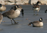 Canada and Cackling Geese