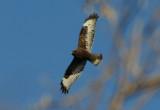 Rough-legged Hawk; dark morph