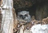 Great Horned Owl; fledgling on nest