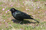 Brewer's Blackbird; male