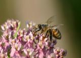Apis mellifera; Western Honey Bee; exotic