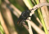 Ospriocerus Robber Fly species