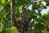Mississippi Kite; immature on nest
