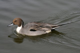 Northern Pintail; male