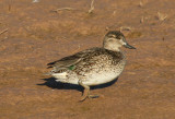 Green-winged Teal; female