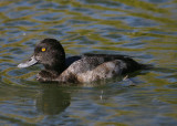 Greater Scaup; immature male