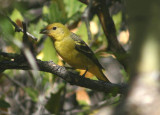 Western Tanager; female
