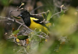 Scott's Oriole; male