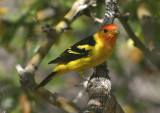 Western Tanager; male