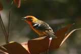 Flame-colored Tanager; male