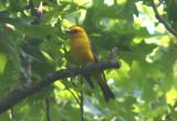 Scarlet Tanager; breeding male; orange variant
