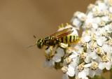 Philanthus multimaculatus; Bee Wolf species