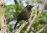 Common Grackle; female