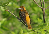 Baltimore Oriole; young male