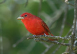Summer Tanager; male