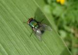 Lucilia sericata; Common Green Bottle Fly