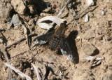 Hemipenthes Bee Fly species