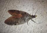 Fishflies, Alderflies, and Dobsonflies