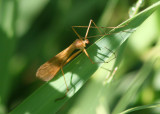 Bittacus occidentis; Hangingfly species