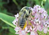 Megachile latimanus; Leafcutting Bee species; female