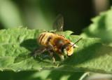 Megachile latimanus; Leafcutting Bee species; male