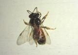 Lasioglossum texanum; Texas Nocturnal Sweat Bee; female