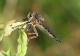 Promachus vertebratus; Giant Robber Fly species