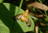 Icterica Fruit Fly species