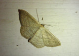 7169 - Scopula inductata; Soft-lined Wave