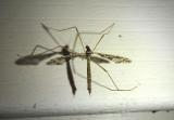 Epiphragma solatrix; Limoniid Crane Fly species