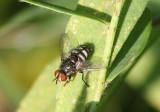 Winthemia Tachinid Fly species