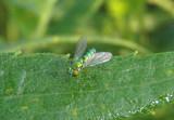 Chrysosoma Long-legged Fly species