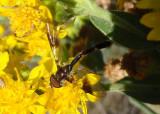 Ocyptamus fascipennis; Syrphid Fly species
