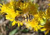 Helophilus Syrphid Fly species