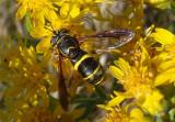 Spilomyia sayi; Syrphid Fly species